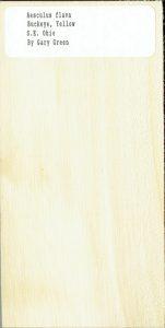 Aesculus Flava Buckeye Yellow SE Ohio