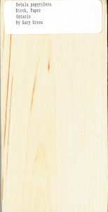 Betula Papyrifera Birch Paper Ontario Canada