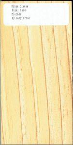 Pinus Clausa Pine Sand Florida