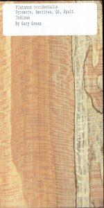 Platanus Occidentalis Sycamore American QS Spalt Indiana