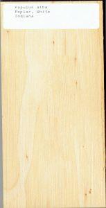Populus alba Poplar White Indiana